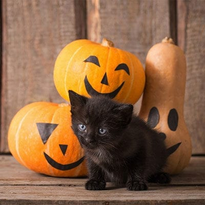Halloween Pet Safety in San Antonio: A Black Kitten Stands Next to Painted Pumpkins and a Gourd